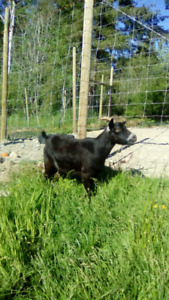 Pygmy and Nigerian Goats for sale $250 and up too $300