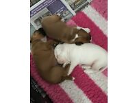 3 stunning boxer puppies for sale