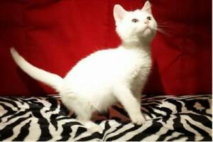 "Young Male Cat - Domestic Short Hair: ""Collin"""