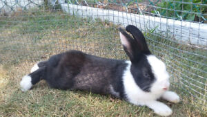 Adult Male Dwarf-Mix Bunny