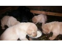 Labrador Puppies - FOX/BEIGE/BLACK