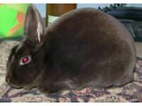 Cornish standard rex rabbit