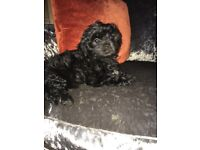 Bichon x Shihtzu puppies!!! (1) bitch left £500! ONO