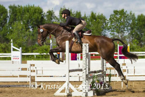 2003 Canadian Warmblood hunter/jumper gelding