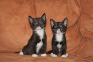 Manx kittens almost ready to be taken to a new home $200