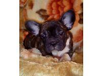 kc registered french bulldog males