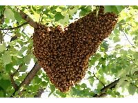 Free Bee Swarm Removal