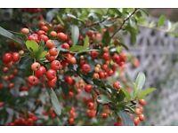 Pyracantha Plants AKA Firethorn