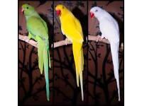 ꜱᴛᴀʀᴛ ʟᴇᴀʀɴ ᴛᴏ ᴛᴀʟᴋ ɢʀᴇᴇɴ ᴘᴀʀʀoᴛʙʀɪɢʜᴛ ʙʟᴜᴇ ᴘᴀʀʀoᴛᴄᴀɴ ᴅᴇʟɪᴇᴠʀ ᴄᴀɢᴇ ᴀᴠᴀɪʟᴀʙʟᴇ Not Birds Budgie
