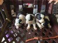 Stunning collie pups