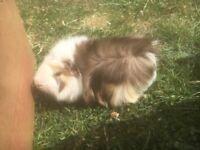 Free male guinea pig
