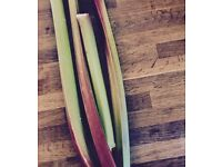 Freshly homegrown rhurbarb