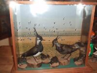 Taxidermy lapwing family