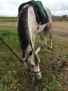 Arabian/QH mare