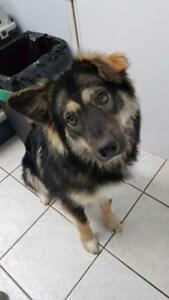 "Young Male Dog - Shepherd: ""Teddy"""
