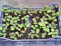 single pots of geraniums REDUCED FOR QUICK SALE