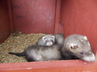 8 weeks old ferrets