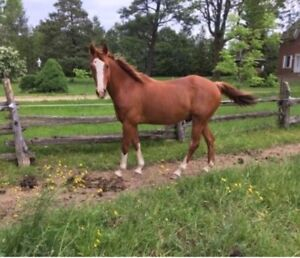 Quarter Horse / English Riding Pony