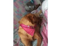 16 month old fox red lab for sale.......reluctant sale good only.