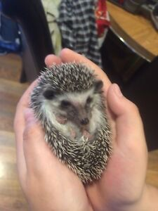 Hedgehog and everything needed
