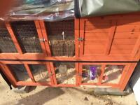 4 female guinea pigs with hutch (need gone urgently)