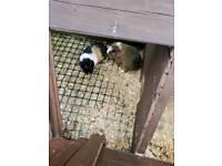 Guinea pigs plus cage