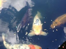 Koi Carp (8) beautiful mixture of colours all approx 2ft in length