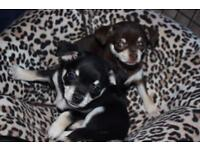 Tiny adorable smooth coat chihuahuas