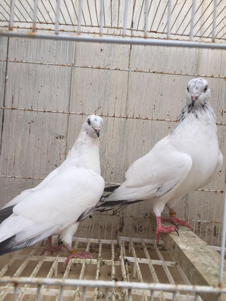Pigeons for salein Huddersfield, West YorkshireGumtree - Pigeons for saleThey are Pakistani high flyers. Hey are well kept and healthy. If you are interested then call 07988321736