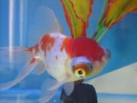 Fancy goldfish - telescope eye oranda