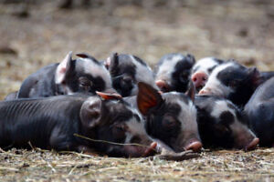 FIRE PIGLETS FOR SALE