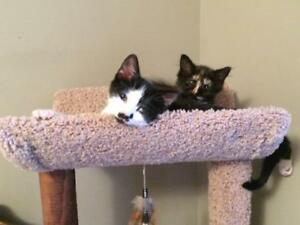 "Baby Male Cat - Domestic Short Hair (Black & White): ""Anthony"""