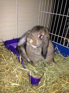 Loppy Earred Male rabbit for breeding