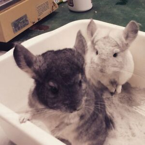 White and Grey Chinchillas (PLUS CAGE AND ACCESSORIES)
