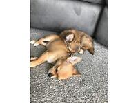 Chihuahua Puppies !! Cheap!!