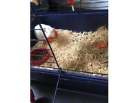 Two girls guinea pigs for sale