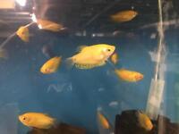 Yellow gourami