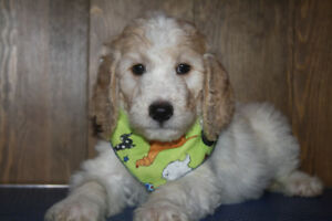Medium Goldendoodles and Miniature Aussiedoodles Available