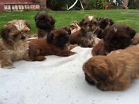 Shih Tzu Puppies (Red/Chocolate)