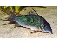 Corydoras BROCHIS SPLENDENS / EMERALD BROCHIS (Greencat) Cory tropical fish