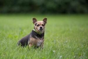 "Adult Female Dog - Chihuahua: ""Emily"""