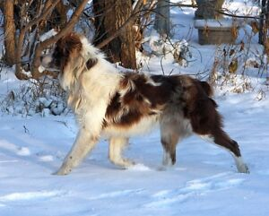 CKC and ASCA registered Australian Shepherds