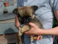 Pomchies, two cute female puppies, , £550.00