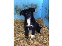 1 boy collie pups left for sale