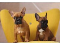 2 brown french bulldog both females 10 weeks old