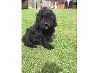 Cavapoo F1 puppies