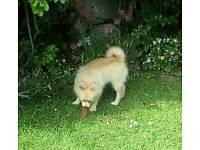 Min Pomeranian boy puppy