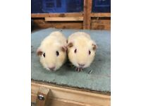 Pair of baby guinea pig sows for sale