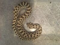 Adult hognose can also come with full set up