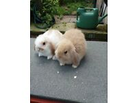 BABY LOP RABBIT AND HUTCH